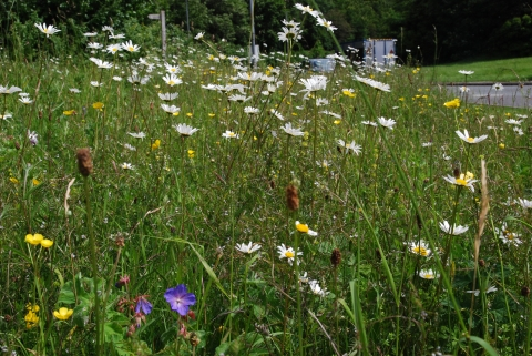 Wildflowers on the verge at the Rheged roundabout on the A66