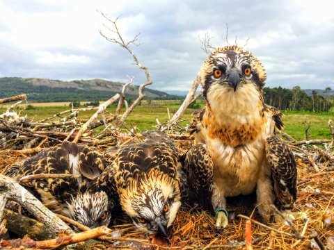 Osprey chicks 2017 at Foulshaw close up