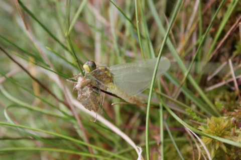White faced darter monitoring at Scaleby Moss June 2014