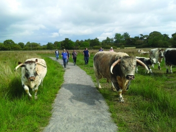 image of long horn cattle and people at gosling sike in cumbria