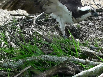 3 eggs confirmed Osprey 2015