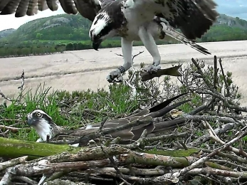Osprey White YW bringing fish to nest 2015