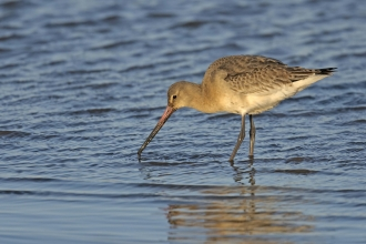 Black-tailed Godwit