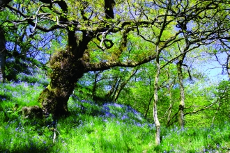 Argill woods nature reserve - bluebells in springtime