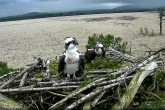 Two adult ospreys in the nest at Foulshaw Moss Nature Reserve