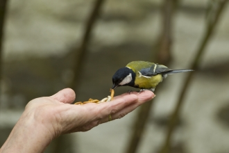 image of Great tit taking mealworm from hand - copyright Mark Hamblin/2020VISION