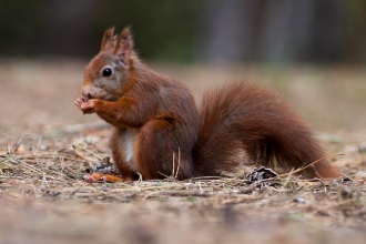 image of Red squirrel eating - copyright Mike Snelle