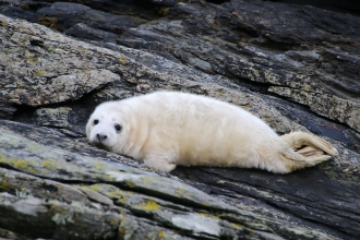 image of Grey seal pup on rocks  - copyright Lara Howe