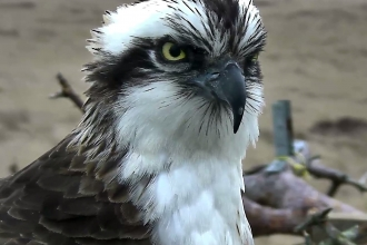 image of an Osprey bird close up at Foulshaw Moss nature reserve