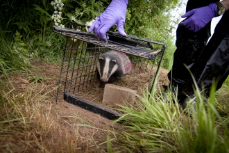 Image of badger release by Tom Marshall