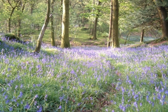 Lovely Bluebell carpet at Barkbooth Lot Nature Reserve