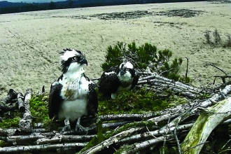 Image of ospreys arriving at Foulshaw Moss Nature Reserve 2018