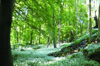 image of woodland in spring with wild garlic plant carpeting the ground