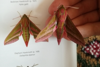 Identifying moths from a chart
