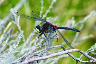 image of White faced darter dragonfly - copyright David clarke