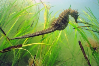 Image of long snouted seahorse taken in Studland Bay rMCZ. Credit: Andrew Pearson