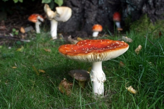 image of red and white Fungi in grass - copyright Margaret Baker