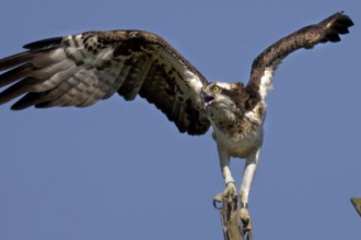 Osprey-with-wings-extended