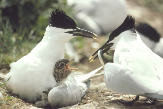 Image of nesting sandwich tern. Credit: Chris Gomersall rspbimages.com