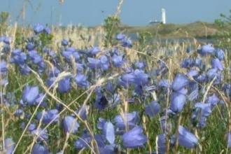 Coastal flowers in bloom at South Walney Nature Reserve