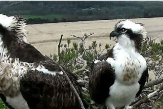 Our Osprey pair on the nest at Foulshaw Moss Nature Reserve