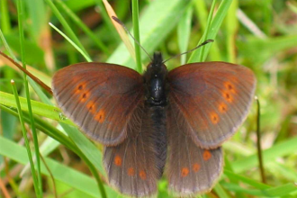 Mountain Ringlet resting on a leaf