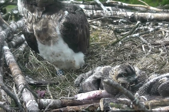 Osprey chick close up