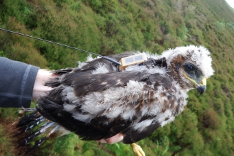 Hen harrier 'Blue' went missing from Cumbria
