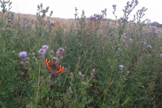 Small tortoiseshell butterfly on thistles