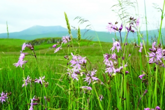 Image of ragged robin and Blencathra at Eycott Hill Nature Reserve