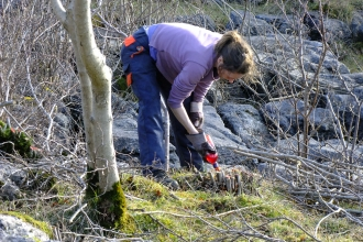 Volunteer removing scrub at Hutton Roof