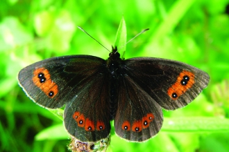 image of a Scotch argus butterfly