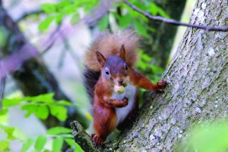 image of a Red squirrel in tree at smardale gill nature reserve
