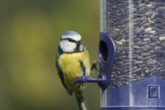 image of a blue tit on a bird feeder - copyright nicholas watts