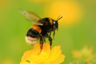 Photo of buff-tailed bumblebee on buttercup
