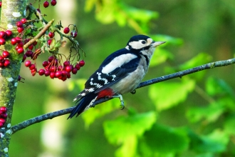image of a Great spotted woodpecker on a berry tree - copyright bob coyle