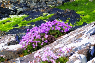 image of pink flowers of thrift on seashore rocks