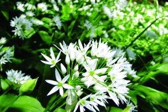 Image of Wild garlic flowers