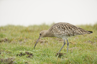curlew on grassland - copyright terry whittaker