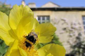 Image of queen white-tailed bumblebee