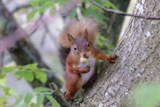 Image of red squirrel at Smardale Nature Reserve