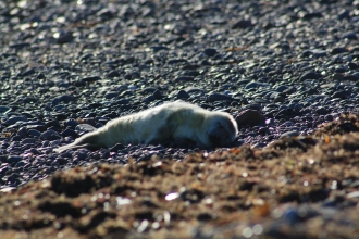 Image of first grey seal pup spotted at South Walney Nature Reserve 2018