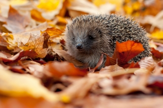 Image of hedgehog in autumn leaves