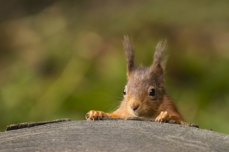 image of red squirrel by Andy Nayler