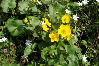 Kingcups by the River Lune