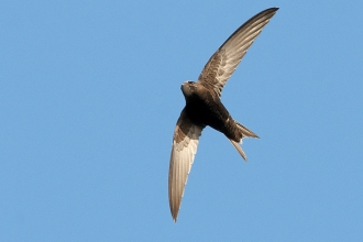 Swift in flight