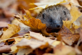 Hedgehog in autumn leaves - copyright tom marshall