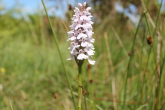 Common spotted orchid -c- andrew walter