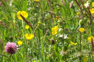 Hay meadow flowers