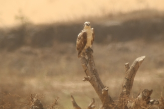 Image of juvenile osprey Blue 5N in The Gambia © Chris Wood